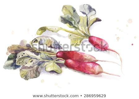 Watercolor garden elongate radishes with leaves Stock photo © artibelka