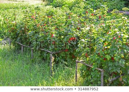 czerwony · porzeczka · Bush · lata · ogród · oddziału - zdjęcia stock © valeriy