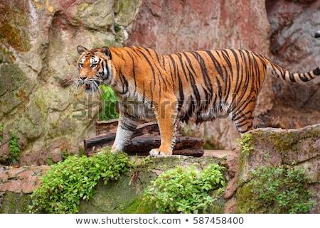 Reusachtig tijger permanente rock hot Stockfoto © epstock