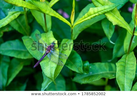 Stock photo: The dragonfly sitting on green leaf