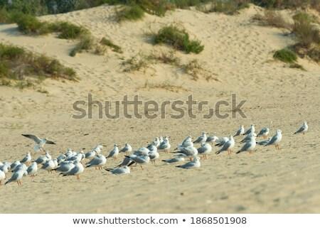 колония Чайки разведение весны природы птиц Сток-фото © ivonnewierink