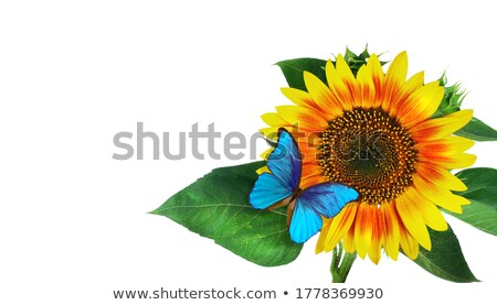 sunflower and butterfly stock photo © klinker