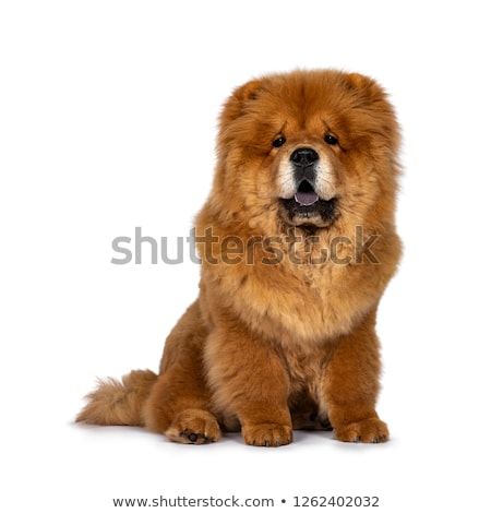 Stock photo: chow chow sitting in white studio