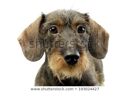 wire haired Dachshund looking up in the camera Stock photo © vauvau