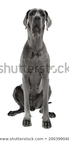 great dane sitting in the white studio floor stock photo © vauvau