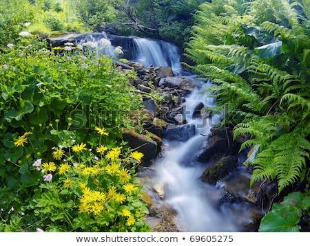 żółte kwiaty górskich strumienia zielone roślin wiosną Zdjęcia stock © Kotenko