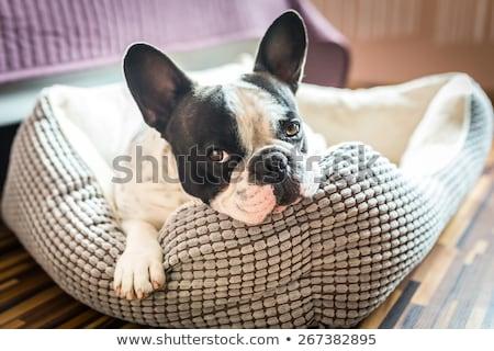 Francia bulldog ágy fehér izolált kutya Stock fotó © OleksandrO