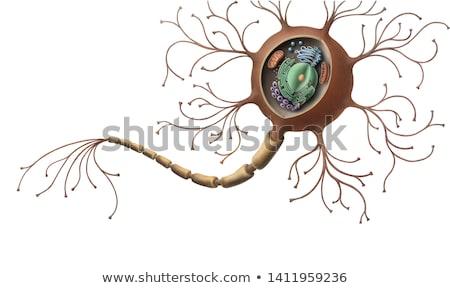 szinapszis · részletes · anatómia · gyönyörű · színes · illusztráció - stock fotó © tefi