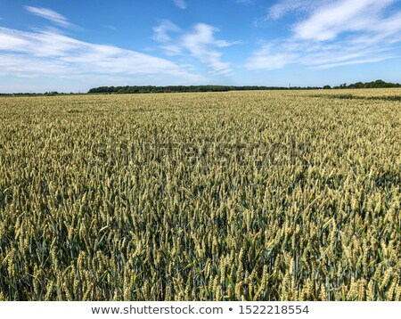 Beautiful barley ceral crop field Stock photo © stevanovicigor