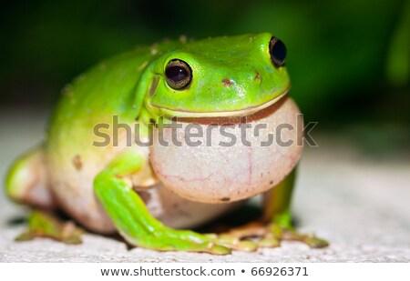 zöld · fa · béka · portré · színes · fa · állat - stock fotó © jaykayl