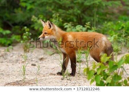 rot · Fuchs · Bild · Hund - stock foto © pictureguy