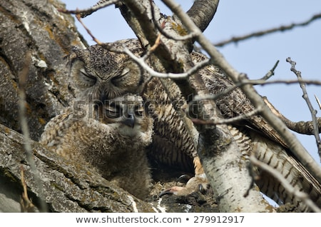 great horned owl fledgling perched on branch stock photo © pictureguy