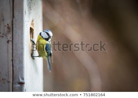 Blue tit Parus caeruleus on a bird house it inhabits Stock photo © lightpoet