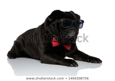 cool boxer dog wearing sunglasses is looking down  Stock photo © feedough