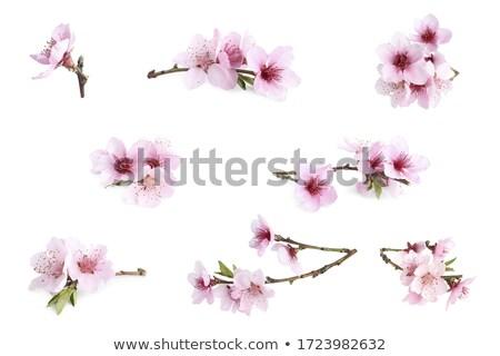 Güzel sakura çiçek kiraz çiçeği bahar mavi gökyüzü Stok fotoğraf © Melnyk