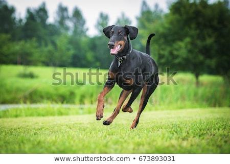 доберман · портрет · области · прыжки · собака - Сток-фото © cynoclub