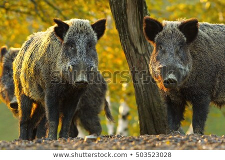 two curious wild boars Stock photo © taviphoto