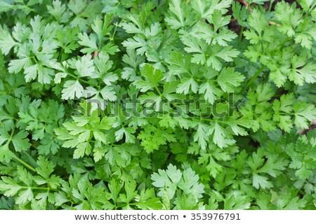 Peterselie bladeren loof top voedsel Stockfoto © maxsol7