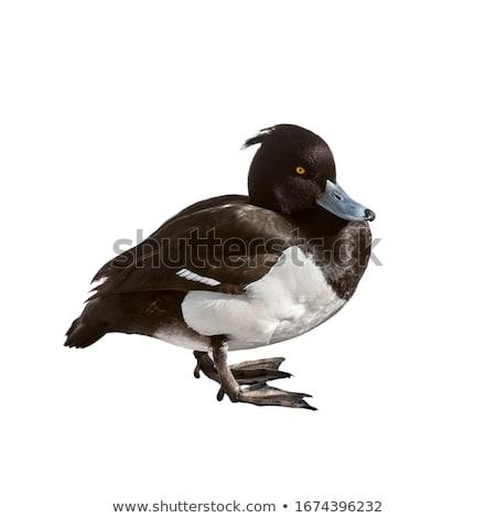 cute tufted duck drake Stock photo © taviphoto