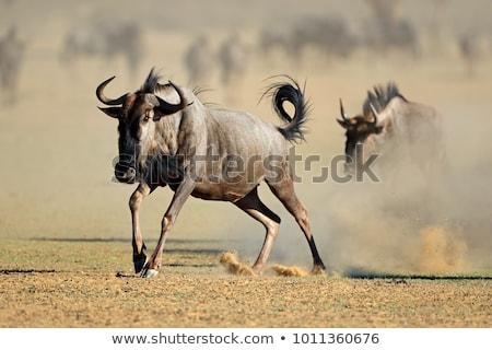 Blue Wildebeest in Kalahari, South Africa Stock photo © artush