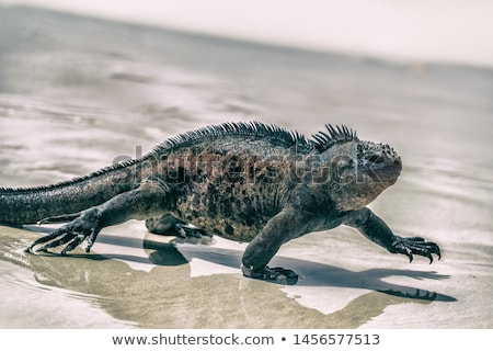 Stockfoto: Galapagos Marine Iguana Walking On Tortuga Bay Beach - Iguanas Santa Cruz Island