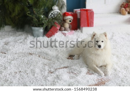 A purebred Samoyed dog lies on the floor with artificial snow Stock photo © ElenaBatkova