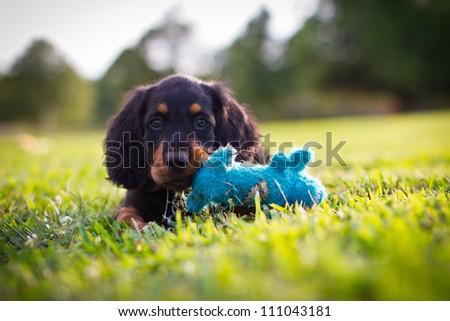 Portrait of an adorable Gordon Setter Stock photo © vauvau