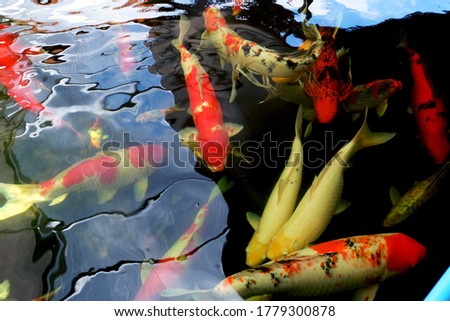 Fancy carp fishes, mirror carp, Romaji, Koi, Nishikigoi are subspecies Cyprinus carpio haematopterus Stock photo © galitskaya