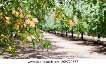 amandel · noten · boom · boerderij · landbouw · voedsel - stockfoto © cboswell