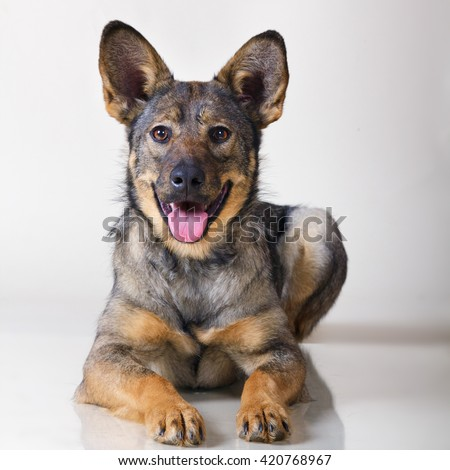 Stock photo: Funny ears mixed breed brown dog sitting in black studio backgro