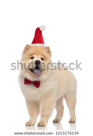 gentleman chow chow dressed as santa claus standing and panting Stock photo © feedough