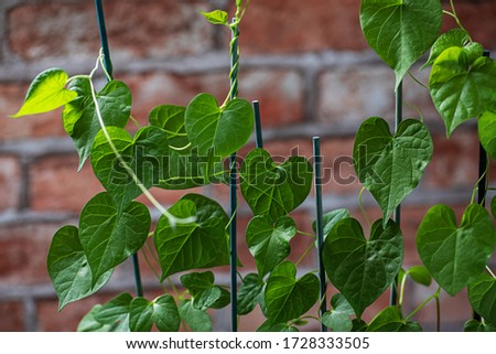 green young creeping plant, climber, typical tropical jungle plant with green leaves under sunlight  Stock photo © galitskaya
