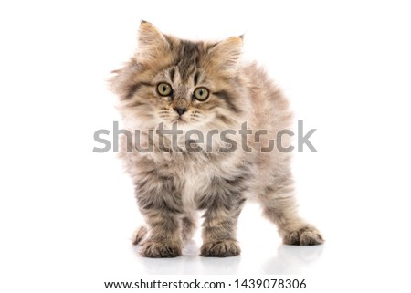 Cute brown tabby with white maine coon kitten standing through white photo frame, looking at lens wi Stock photo © CatchyImages