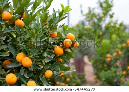close up vibrant orange citrus fruits on a kumquat tree in honor of the vietnamese new year lunar n stock photo © galitskaya