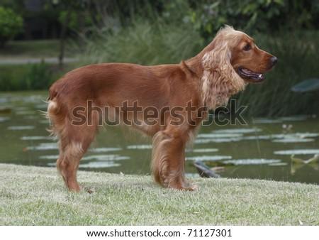 Bastante perro pie campo de hierba retrato amigo Foto stock © JohnKasawa