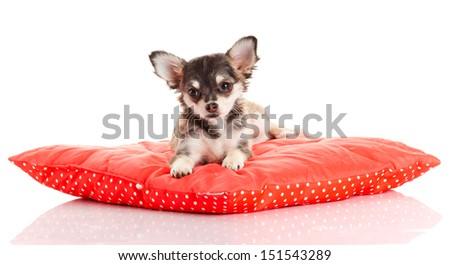 Сток-фото: собака · красный · подушкой · изолированный · белый · портрет