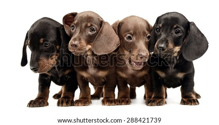 Stock photo: four lovely puppy dachshunds staying side by side in white studi