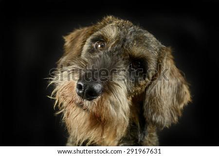 子犬 髪 ダックスフント 肖像 黒 写真 ストックフォト © vauvau