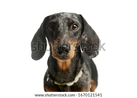 lovely short hair harlekin dachshund portrait in a white photo stock photo © vauvau