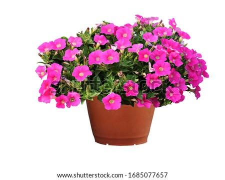 pink beautiful petunia flower in pot petunia growing in balcony stock photo © virgin