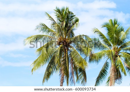 Palm tree crowns with green leaves on sunny sky background. Coco palm tree tops - view from the grou Stock photo © galitskaya
