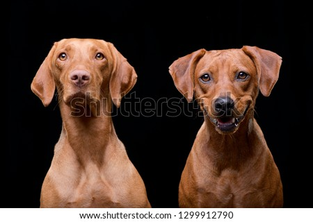 studio shot of an adorable hungarian vizsla and a mixed breed dog stock photo © vauvau