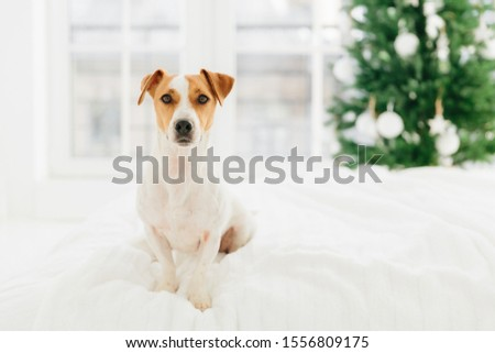 Pedigree jack russell terrier dog poses on bed against blurred background, fir tree symbolizing comi Stock photo © vkstudio