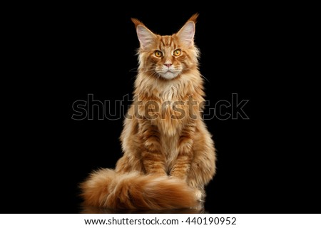 red Maine Coon cat Stock photo © prill