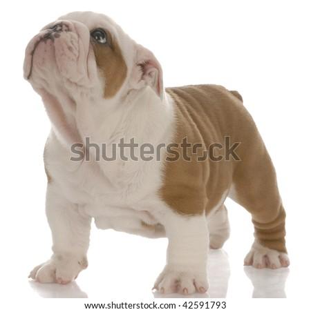 Rosso bianco english bulldog cucciolo piedi Foto d'archivio © willeecole