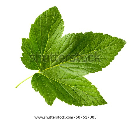 Ripe Black Currants with Green Leaf Isolated on White Background Stock photo © maxpro