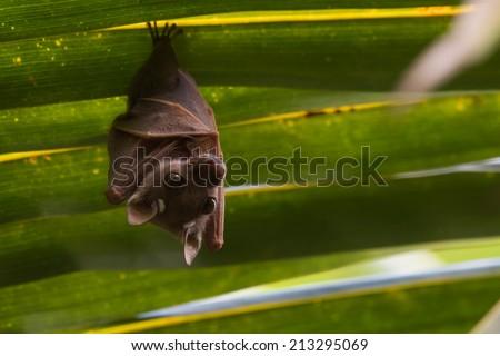 Anão fruto bat enforcamento folha de palmeira assustador Foto stock © davemontreuil