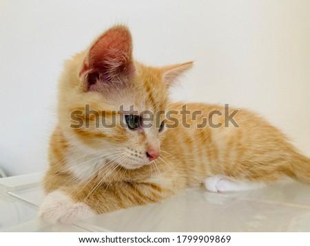 Cute gember kat witte Stockfoto © chrisga