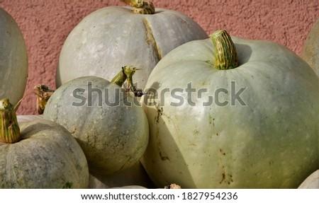 blue banana grey banana cucurbita pumpkin pumpkins from autumn h stock photo © juniart
