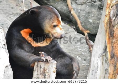Malayan Sun Bear or Honey Bear, science names 'Helarctos malayan Stock photo © FrameAngel
